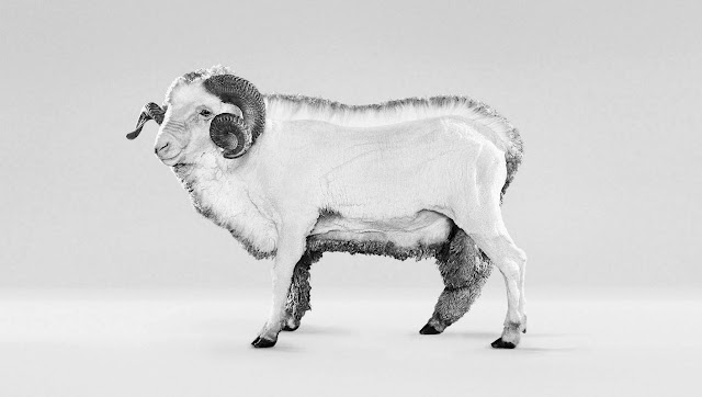 Shawn merino sheep icebreaker design